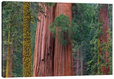 Giant Sequoia Trees, California Canvas Art Print