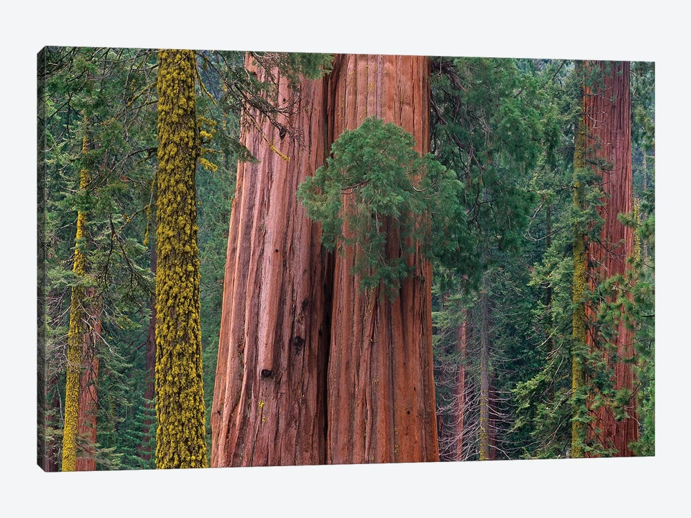 Giant Sequoia Trees, California by Tim Fitzharris 1-piece Art Print