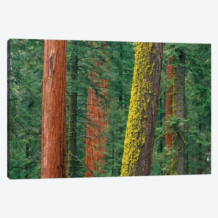 Giant Sequoia Trees, Some With Mossy Trunks, In Grant Grove, Sequoia National Park, California Canvas Print #TFI391} by Tim Fitzharris Canvas Art