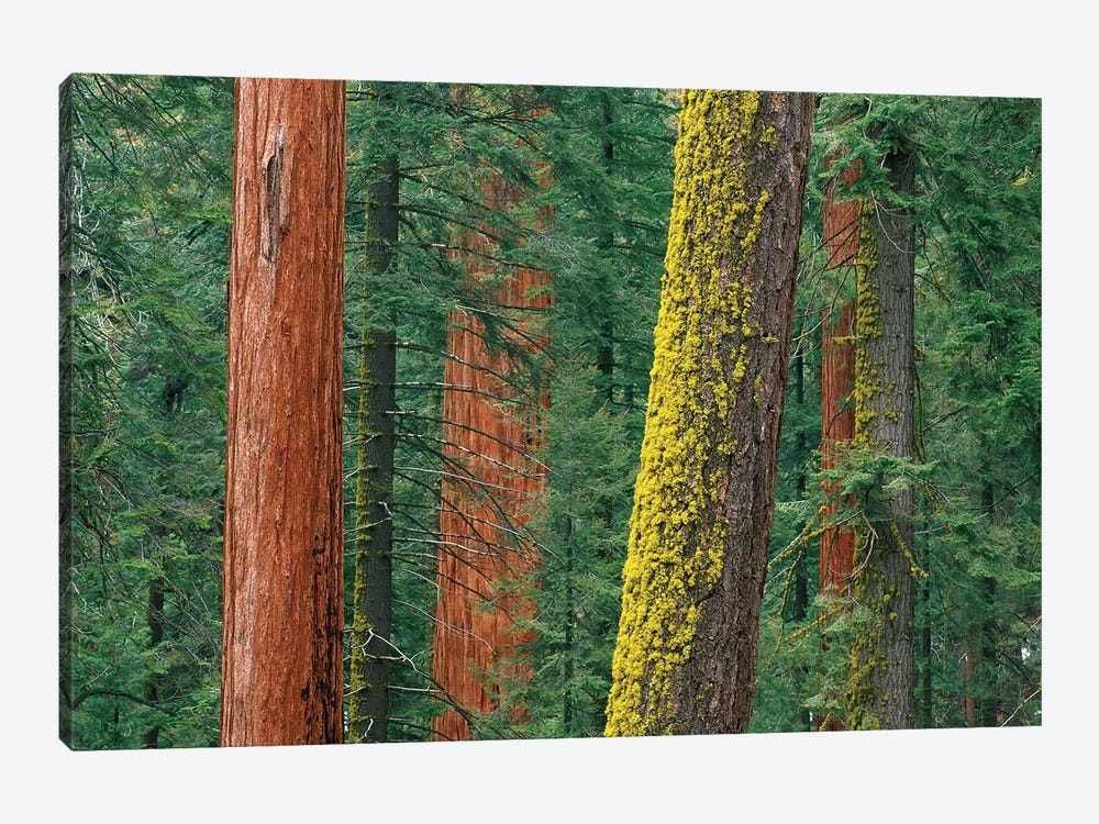 Giant Sequoia Trees, Some With Mossy Trunks, In Grant Grove, Sequoia National Park, California by Tim Fitzharris 1-piece Canvas Art