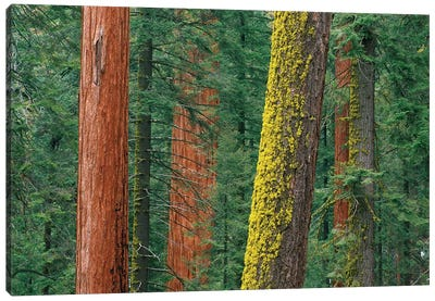 Giant Sequoia Trees, Some With Mossy Trunks, In Grant Grove, Sequoia National Park, California Canvas Art Print