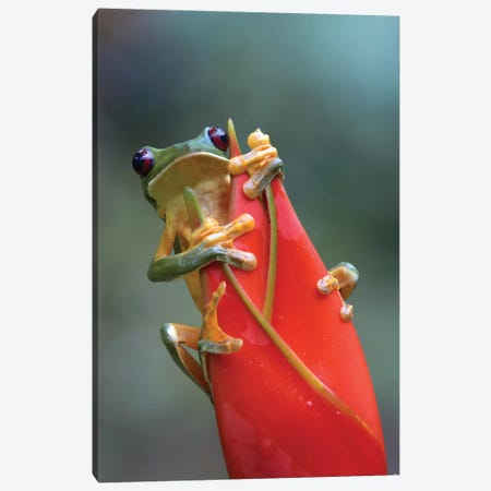Gliding Leaf Frog On Heliconia, Costa Rica Canvas Print #TFI393} by Tim Fitzharris Canvas Artwork