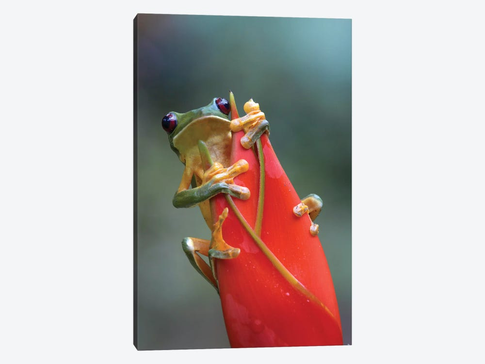 Gliding Leaf Frog On Heliconia, Costa Rica by Tim Fitzharris 1-piece Canvas Wall Art