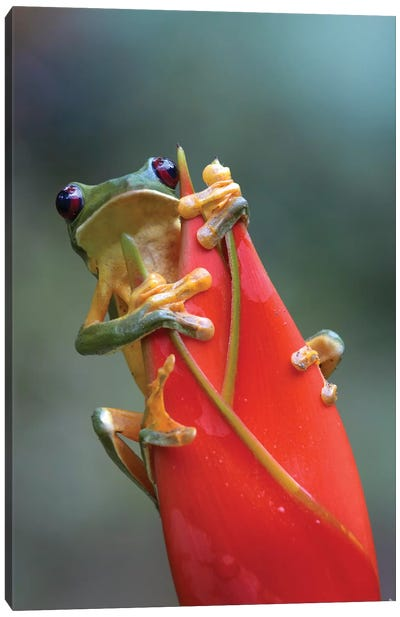 Gliding Leaf Frog On Heliconia, Costa Rica Canvas Art Print