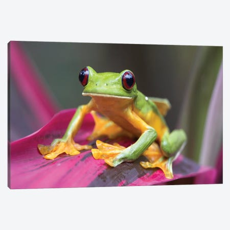 Gliding Leaf Frog Portrait, Costa Rica Canvas Print #TFI394} by Tim Fitzharris Canvas Print