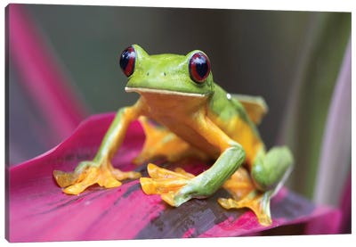 Gliding Leaf Frog Portrait, Costa Rica Canvas Art Print