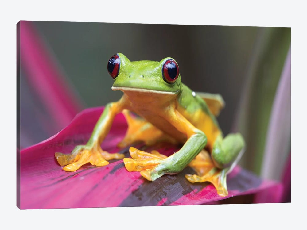Gliding Leaf Frog Portrait, Costa Rica by Tim Fitzharris 1-piece Canvas Art Print