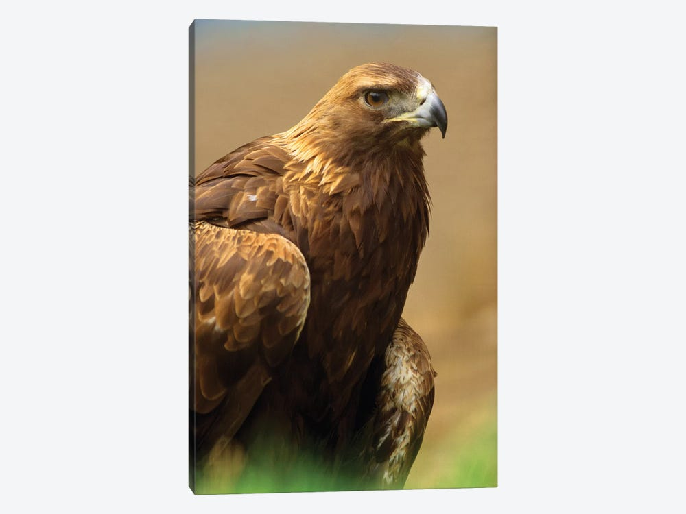 Golden Eagle Portrait, North America by Tim Fitzharris 1-piece Art Print