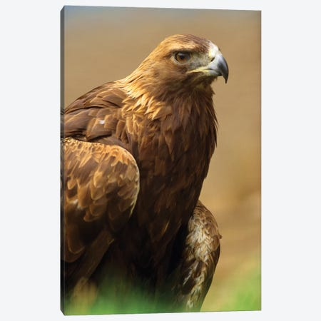Golden Eagle Portrait, North America Canvas Print #TFI396} by Tim Fitzharris Art Print