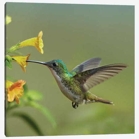 Andean Emerald Hummingbird Feeding On A Yellow Flower, Ecuador - Vertical Canvas Print #TFI39} by Tim Fitzharris Canvas Print