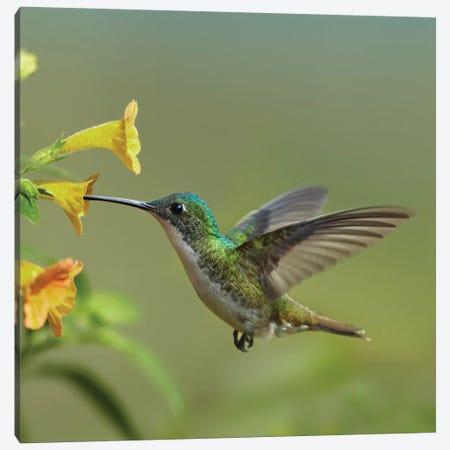 Andean Emerald Hummingbird Feeding On A Yellow Flower, Ecuador - Vertical Canvas Print #TFI39} by Tim Fitzharris Canvas Print