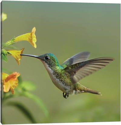 Andean Emerald Hummingbird Feeding On A Yellow Flower, Ecuador - Vertical Canvas Art Print