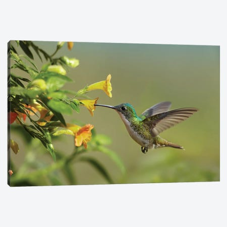 Andean Emerald Hummingbird Feeding On A Yellow Flower, Ecuador - Horizontal Canvas Print #TFI40} by Tim Fitzharris Canvas Art