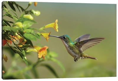 Andean Emerald Hummingbird Feeding On A Yellow Flower, Ecuador - Horizontal Canvas Art Print