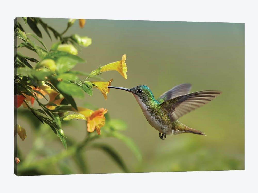 Andean Emerald Hummingbird Feeding On A Yello Tim Fitzharris Icanvas