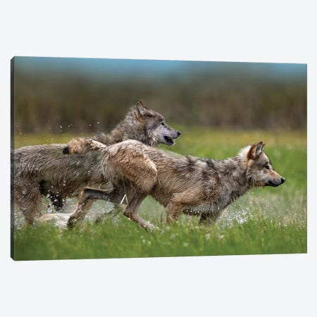 Gray Wolf Pair Running Through Water, North America Canvas Print #TFI415} by Tim Fitzharris Canvas Wall Art