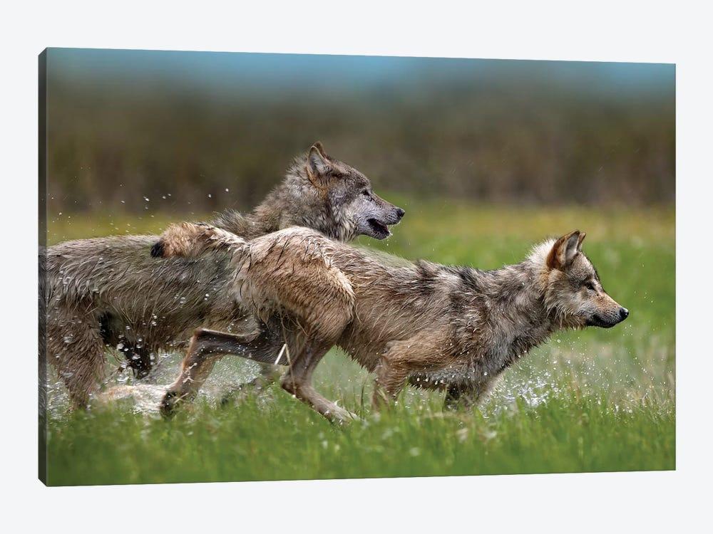 Gray Wolf Pair Running Through Water, North America by Tim Fitzharris 1-piece Canvas Art Print