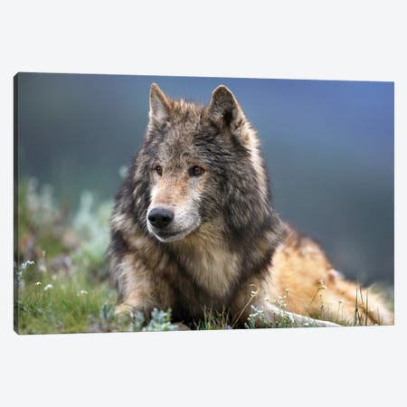 Gray Wolf Resting, North America Canvas Print #TFI416} by Tim Fitzharris Canvas Wall Art
