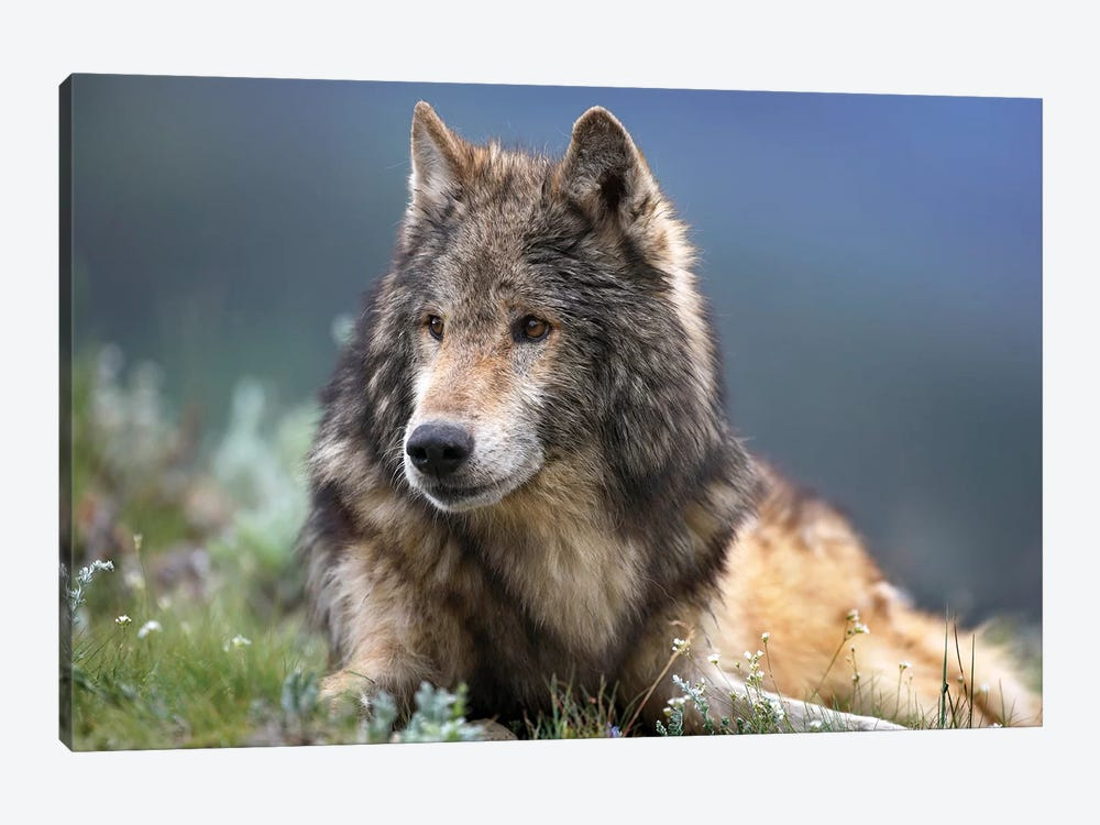 Gray Wolf Resting, North America by Tim Fitzharris 1-piece Canvas Artwork