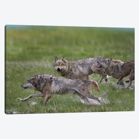 Gray Wolf Trio Running Through Water, North America Canvas Print #TFI417} by Tim Fitzharris Canvas Wall Art