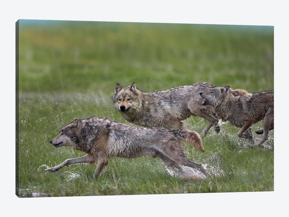 Gray Wolf Trio Running Through Water, North America by Tim Fitzharris 1-piece Canvas Print