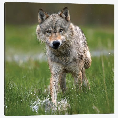 Gray Wolf Walking Through Water, North America Canvas Print #TFI418} by Tim Fitzharris Canvas Art Print