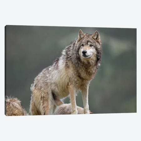 Gray Wolf, North America I Canvas Print #TFI419} by Tim Fitzharris Canvas Art Print