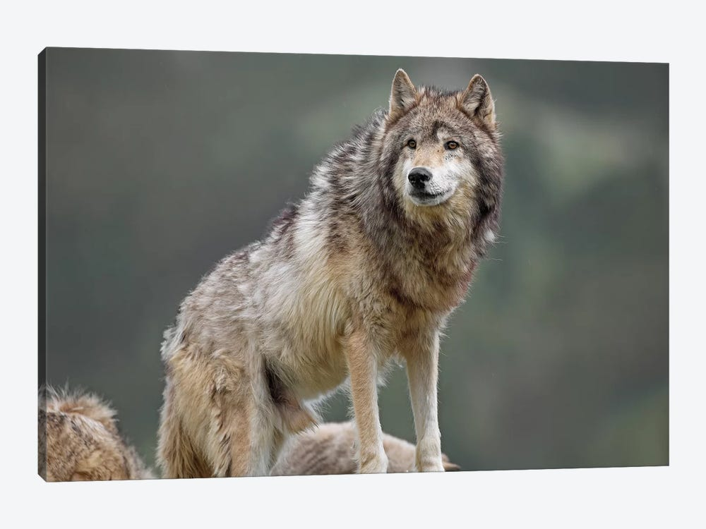 Gray Wolf, North America I by Tim Fitzharris 1-piece Art Print