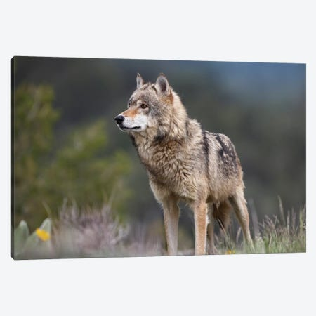 Gray Wolf, North America II Canvas Print #TFI420} by Tim Fitzharris Canvas Art