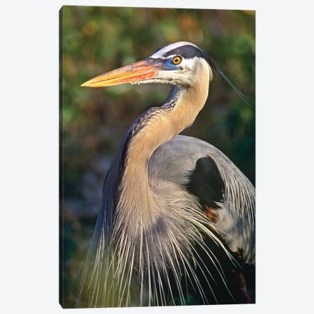Great Blue Heron Portrait, North America Canvas Print #TFI421} by Tim Fitzharris Canvas Art