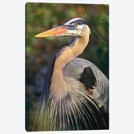 Great Blue Heron Portrait, North America Canvas Print #TFI421} by Tim Fitzharris Canvas Art