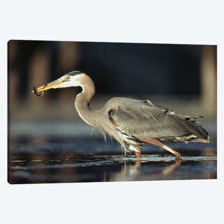 Great Blue Heron With Captured Fish, British Columbia, Canada Canvas Print #TFI422} by Tim Fitzharris Canvas Art