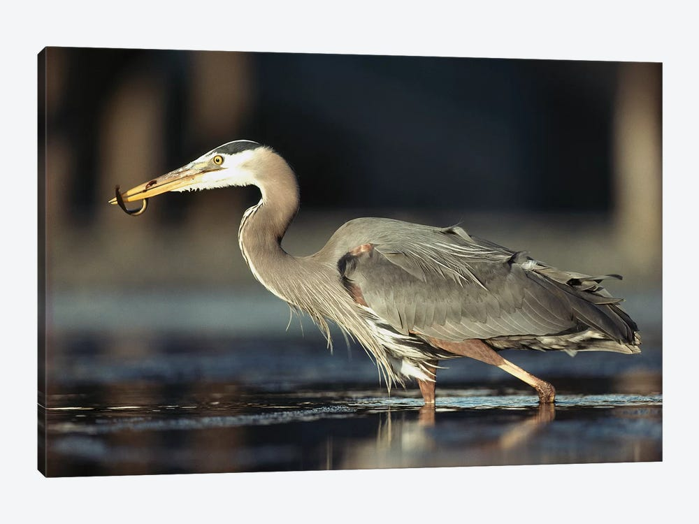 Great Blue Heron With Captured Fish, British Columbia, Canada by Tim Fitzharris 1-piece Canvas Art Print
