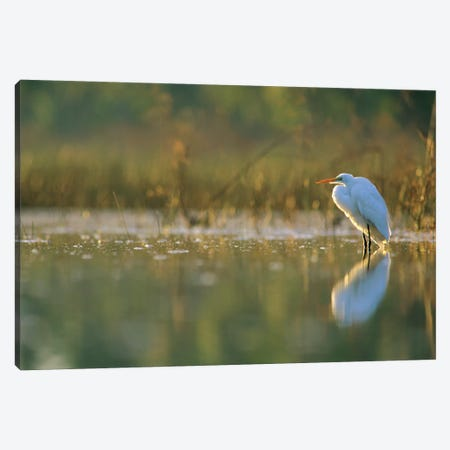 Great Egret Backlit In Marsh At Sunset, North America Canvas Print #TFI423} by Tim Fitzharris Canvas Art