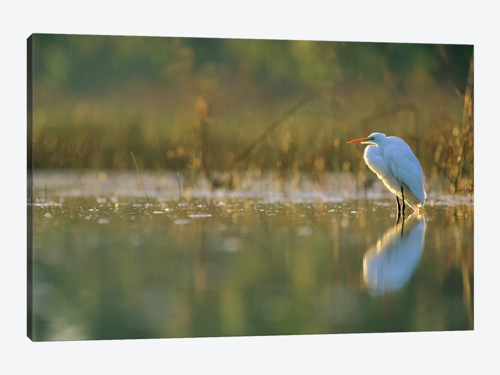 Great Egret Backlit In Marsh At Sunset, North America by Tim Fitzharris 1-piece Canvas Art