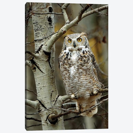 Great Horned Owl Pale Form, Perched In Tree, Alberta, Canada Canvas Print #TFI424} by Tim Fitzharris Art Print