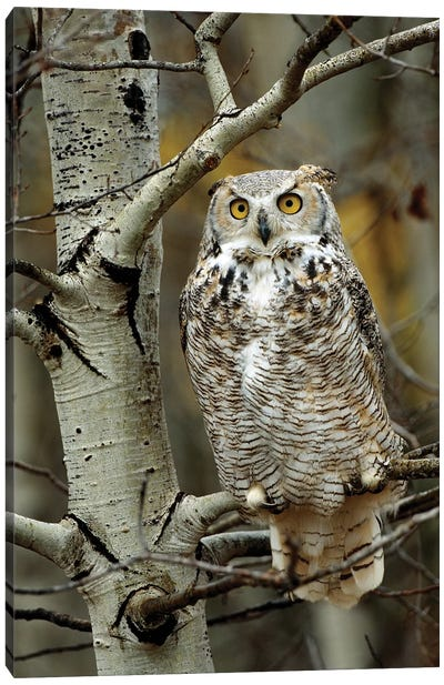 Great Horned Owl Pale Form, Perched In Tree, Alberta, Canada Canvas Art Print