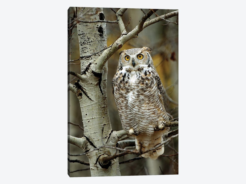 Great Horned Owl Pale Form, Perched In Tree, Alberta, Canada by Tim Fitzharris 1-piece Canvas Art Print