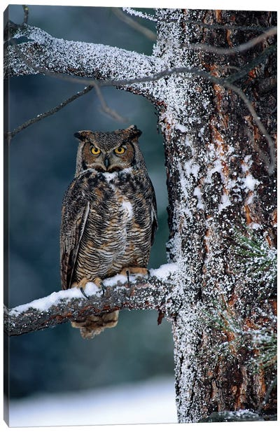 Great Horned Owl Perched In Tree Dusted With Snow, British Columbia, Canada I Canvas Art Print