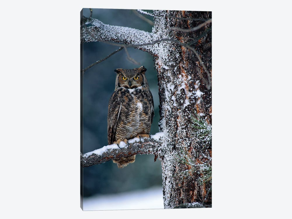 Great Horned Owl Perched In Tree Dusted With Snow, British Columbia, Canada I by Tim Fitzharris 1-piece Canvas Wall Art