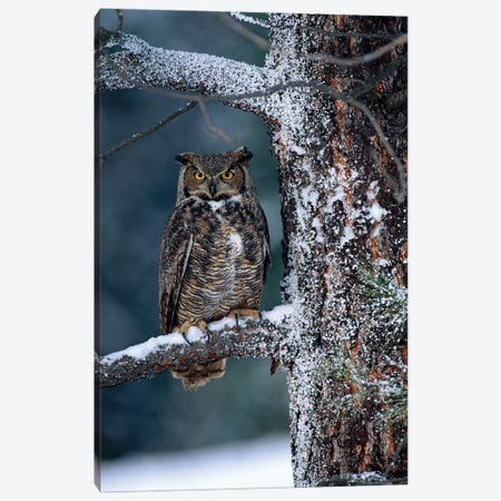 Great Horned Owl Perched In Tree Dusted With Snow, British Columbia, Canada I Canvas Print #TFI425} by Tim Fitzharris Art Print