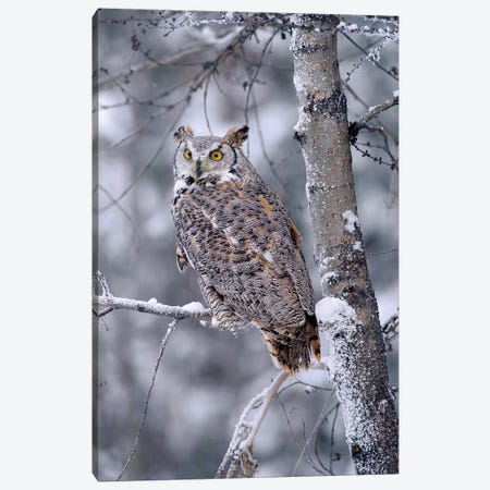 Great Horned Owl Perched In Tree Dusted With Snow, British Columbia, Canada II Canvas Print #TFI426} by Tim Fitzharris Canvas Print