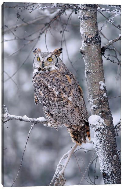 Great Horned Owl Perched In Tree Dusted With Snow, British Columbia, Canada II Canvas Art Print