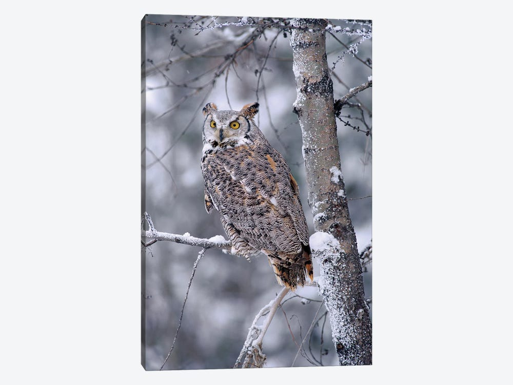 Great Horned Owl Perched In Tree Dusted With Snow, British Columbia, Canada II 1-piece Canvas Print