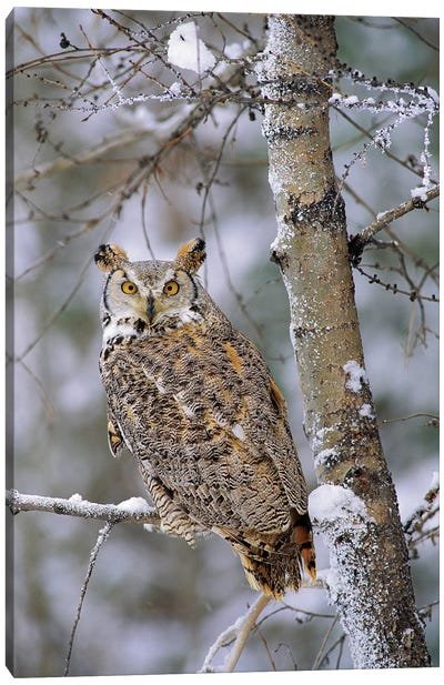 Great Horned Owl, Pale Form, Perching In A Snow-Covered Tree, British Columbia, Canada Canvas Art Print