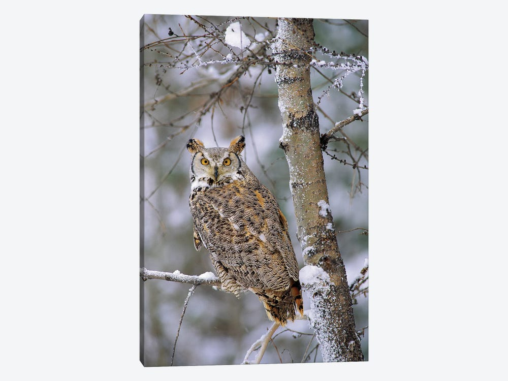 Great Horned Owl, Pale Form, Perching In A Snow-Covered Tree, British Columbia, Canada by Tim Fitzharris 1-piece Canvas Wall Art
