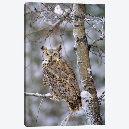 Great Horned Owl, Pale Form, Perching In A Snow-Covered Tree, British Columbia, Canada Canvas Print #TFI427} by Tim Fitzharris Art Print