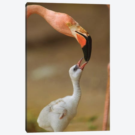 Greater Flamingo Mother And Begging Chick, Caribbean Canvas Print #TFI430} by Tim Fitzharris Canvas Print