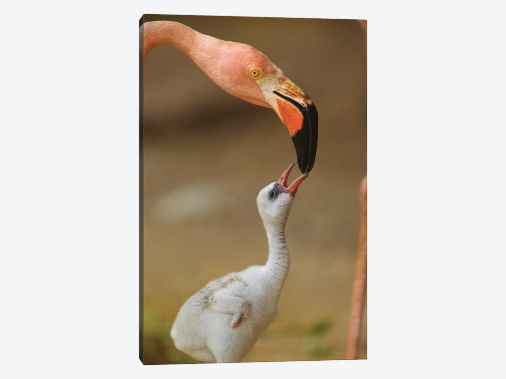Greater Flamingo Mother And Begging Chick, Caribbean by Tim Fitzharris 1-piece Canvas Art