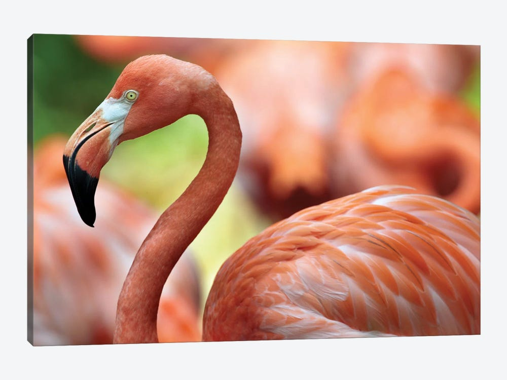 Greater Flamingo, Jurong Bird Park, Singapore by Tim Fitzharris 1-piece Art Print